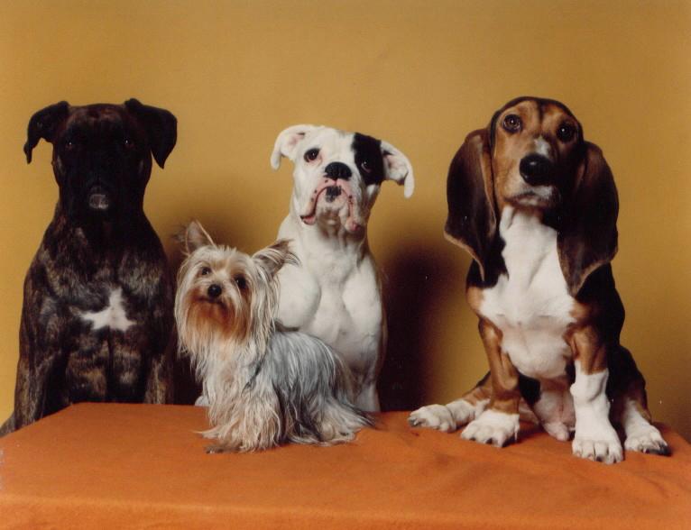 van links naar rechts: boxerreu Paco, boxerteef Zohar, franse basset Charlie en op de voorgrond de kleine York dame Lady.